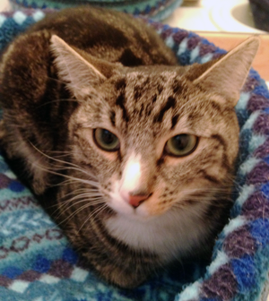 Finn is a handsome shorthaired tabby cat with white. Approximately 1½ years old, his beautiful fur has stripes and swirls. Finn is very sweet and loves people. He purrs easily and likes to be petted.