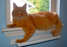Harrison is a super friendly and handsome orange tabby cat who is starved for attention.