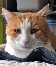 Approximately two years old, cat of the week, Bailey, is quite the handsome gentleman.
