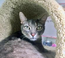 Approximately six to seven years old, our cat of the week Cricket loves people. This boy is very friendly and was quite a hit at the vet's office. Cricket follows people around like a little dog. When not lounging, he loves to play with wand toys in his spare time. He is a very sweet, loving cat.