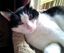 "Forever home cat of the week Cody, is approximately four to five years old and is ""one big hunk of love."""