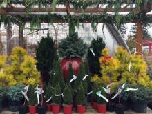 Festive conifers, keeping your yard looking great all year long. Photo courtesy of Sunnyside Nursery.
