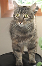 El Gato is such a handsome boy cat with his ear tufts and long whiskers.  He is such a sweet cat who loves attention and seems to like everyone he meets.  He does not scare easily and will greet you with a purr.