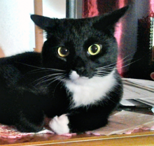 Misty is a gorgeous tuxedo kitty cat that is one to two years old.