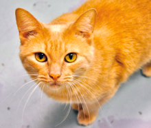 Taylor is a stunning buff tabby with a winning personality! This seven year old girl would love to be your adoring companion.