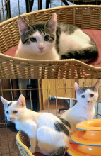 Forever home kittens of the week, Chloe, Camille, Piper and Simon are very sweet kittens that have lots of energy.