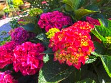 There are lots of wonderful July blooming shrubs that you can choose from when it comes to adding color and excitement to your yard, but probably the most popular one of all is the hydrangea - in all of its many variations.