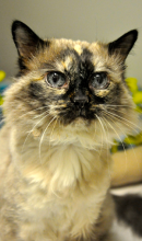 Priscilla is a captivating, blue eyed Himalayan mix cat. Her easy going and loving personality is irresistible!