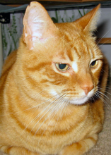 Forever home cat of the week Tommy was originally a kitten that came out of the Katrina disaster. A sweet older lady brought him to the Northwest and gave him a home for 7 - 8 years. His owner now has dementia and can no longer care for him. He misses her love.