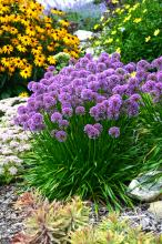 Gardening with perennials can be tricky. Unlike annuals that will bloom all summer long, perennials have their own specific blooming seasons - ranging from late winter to early spring, early summer, late summer, and even fall and winter.