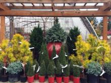 Colorful conifers are great this time of year. Photo courtesy of Sunnyside Nursery.