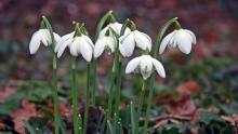 Snowdrop Bells. Photo courtesy of Steve Smith, owner of Sunnyside Nursery.