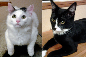 Dandy and Romeo are very bonded and will need to be adopted together. Photo courtesy of the Community Cat Coalition.