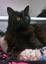 This handsome hunk of a cat is Brewster!  He is an eight year old, silky coated boy eagerly awaiting his forever home!