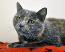 Homeward Pet Cat of the week, Annabell, loves napping on plush blankets and playing with feather toys. This ten year old gal has lively bursts of energy and is over all a very well-mannered house mate.