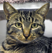 Dudley is shy and loving and blossoms when given some ear scratches and rubs. He enjoys spending quality, quiet time cuddled up with his people. He gets along well with other cats.