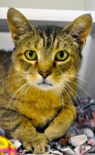 Jersey is a six year old mellow cat who enjoys his social time!