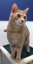 Saffron is an alluring one-year-old tabby cat with captivating golden eyes!