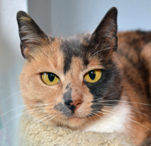 Forever home cat of the week Tessera, is named after the small pieces that make up a beautiful mosaic. True to her name, she is a pretty, mosaic patterned tortoiseshell with a complicated history.