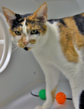 Tweet is a one and a half year old calico kitty with spunk, charm, and a zest for life!